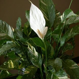 Domino Peace Lily Plants