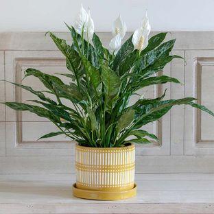 Spathiphyllum Hybrid