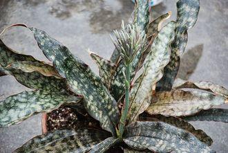 Coppertone Snake Plant