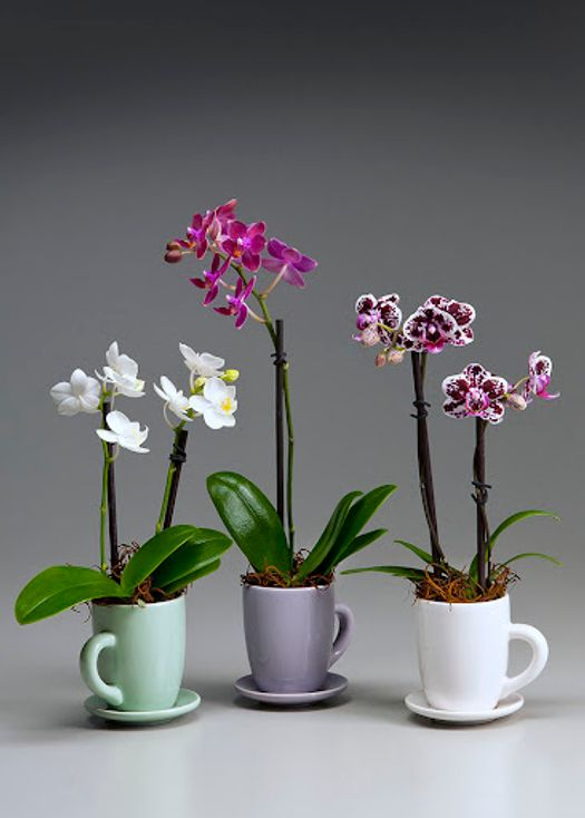 Darling Orchid