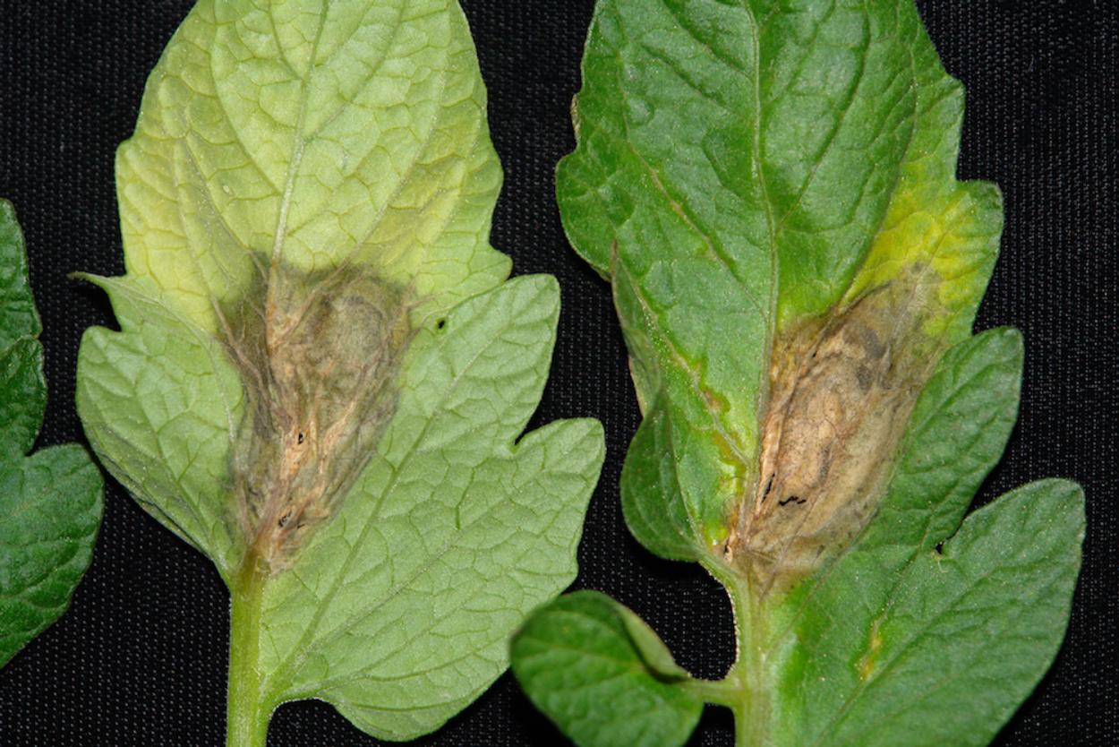 Disease: Botrytis (gray mold)
