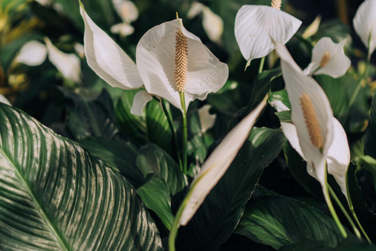 7. Spathiphyllum