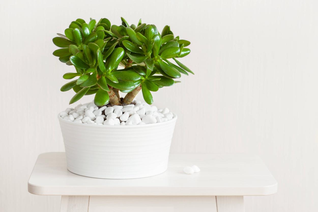 5. Jade tree