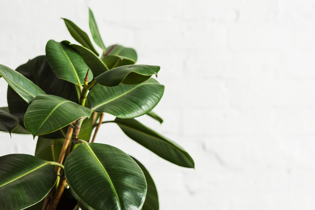 Ficus rubber