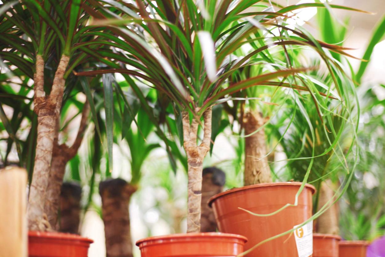 8. Ponytail palm