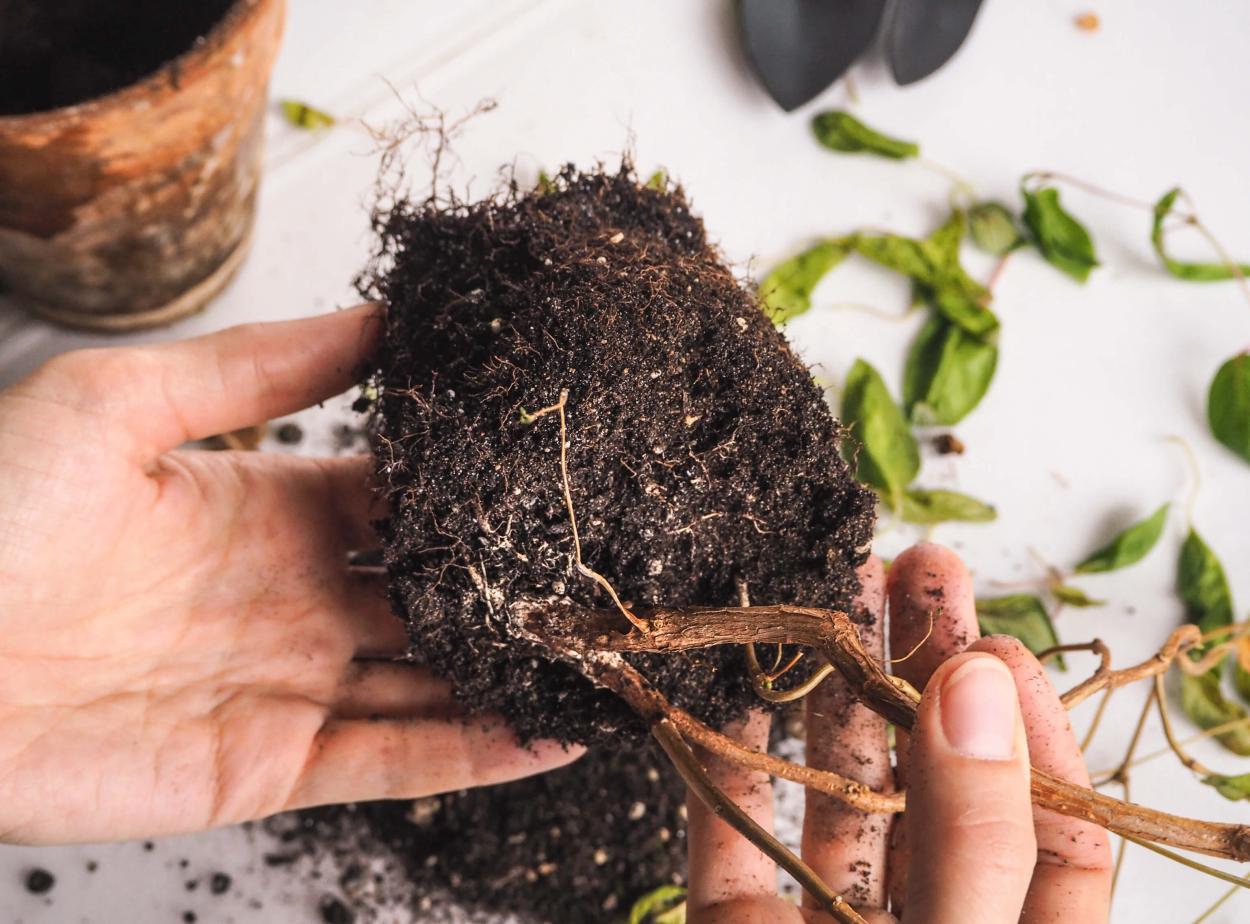 Disease: Root rot