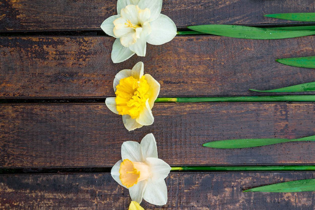 Narcissus papery