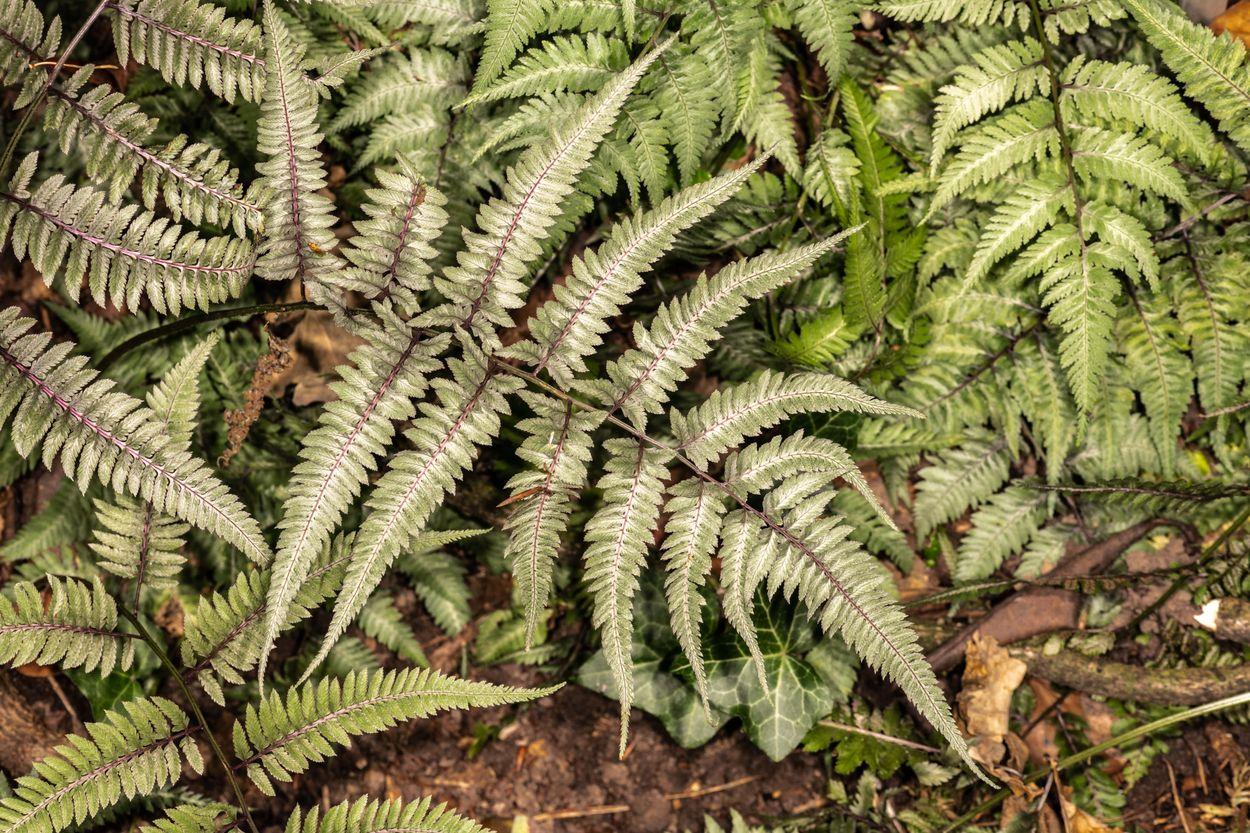 Leo - Fern Athyrium niponicum