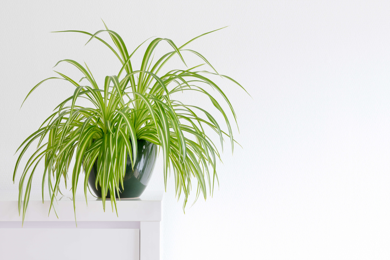 4. Spider plant