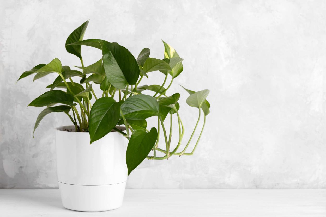 4. Ivy