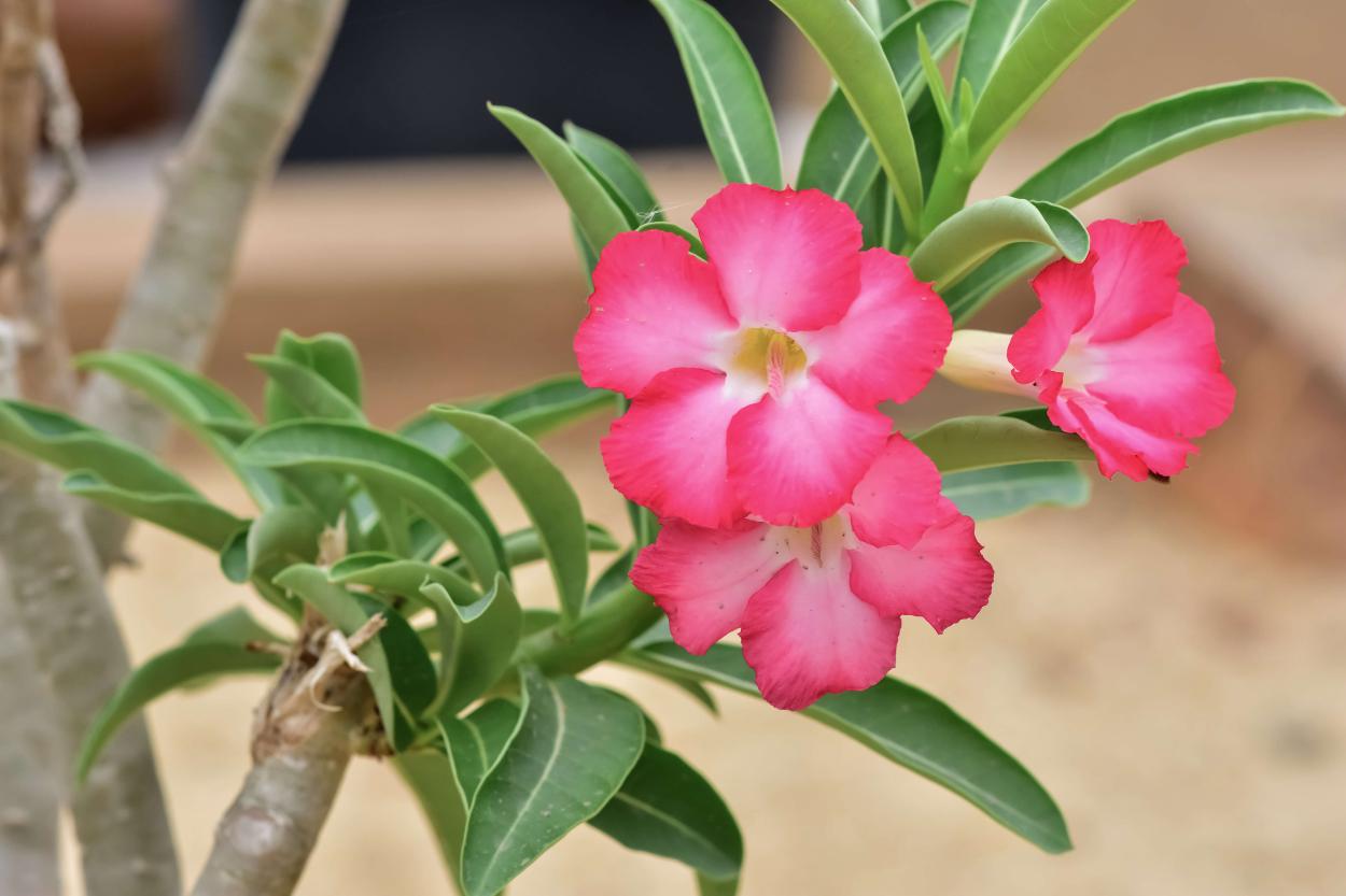 Adenium Rose