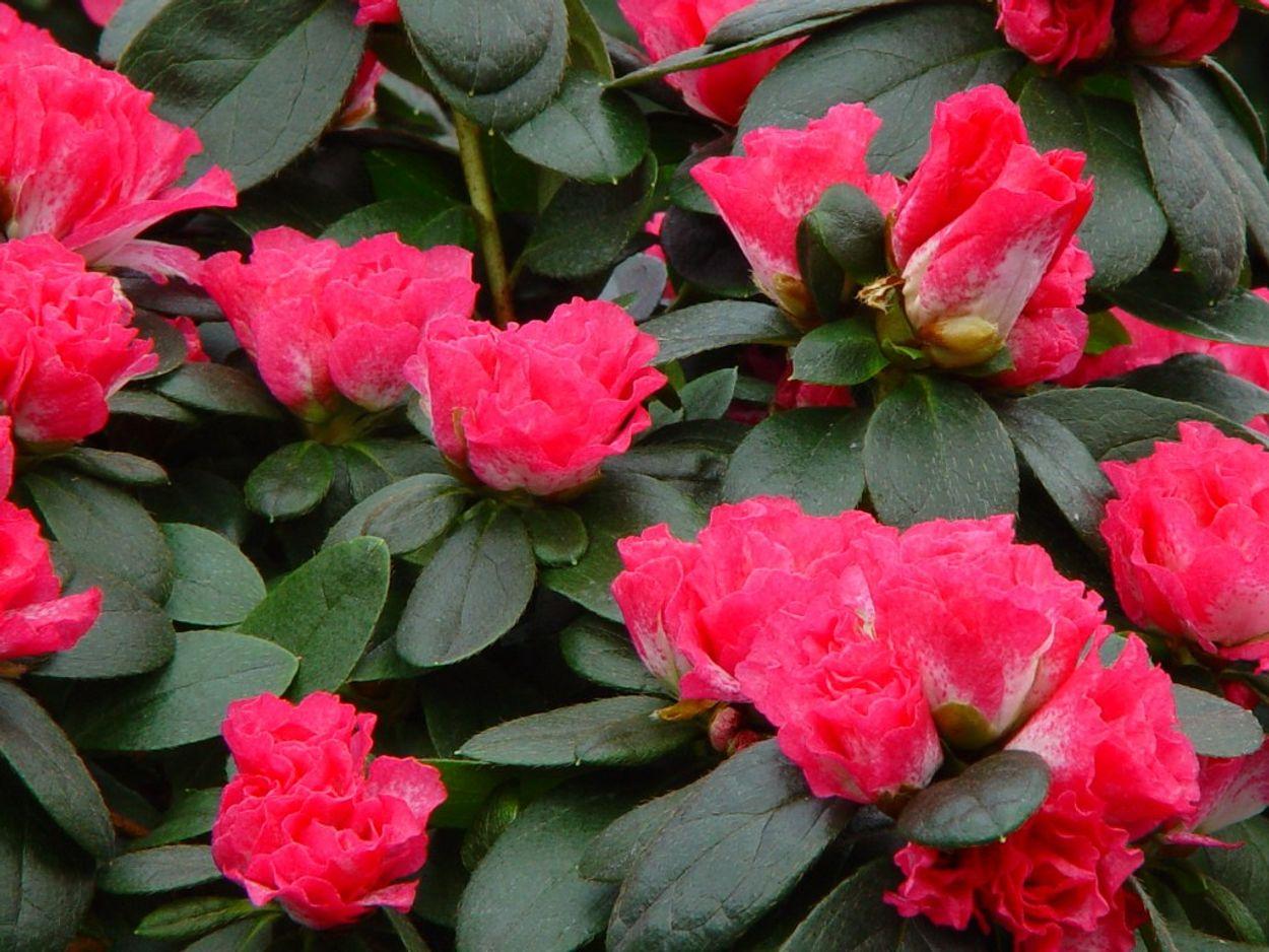 6. Azalea indica