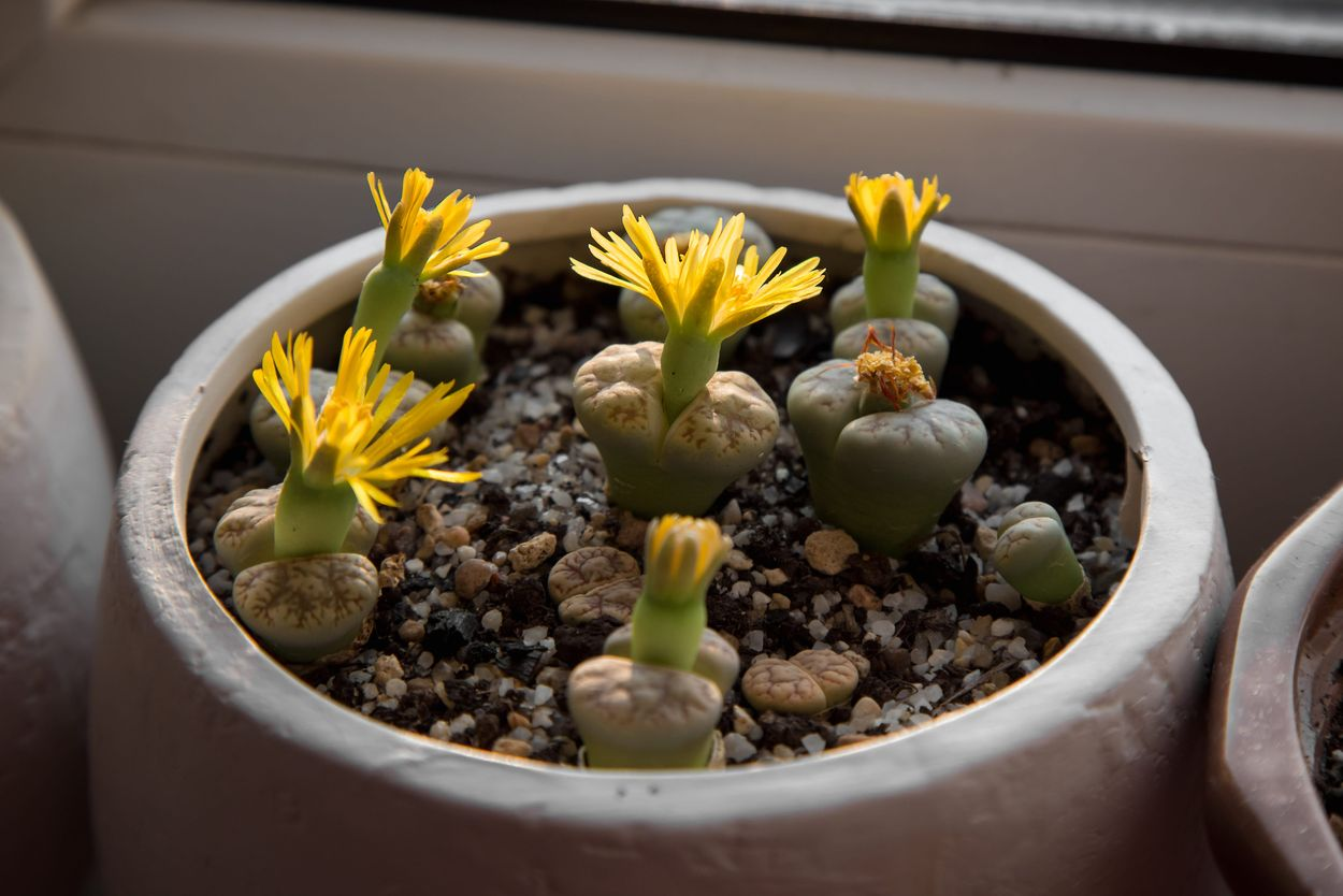 Lithops or living stones