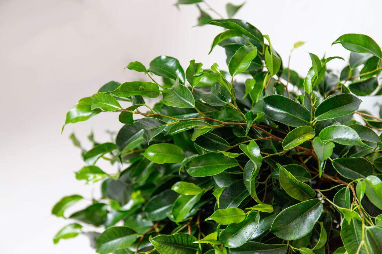 5. Ficus Benjamina