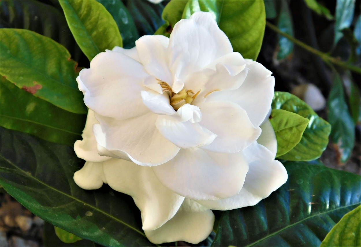 1. Gardenia