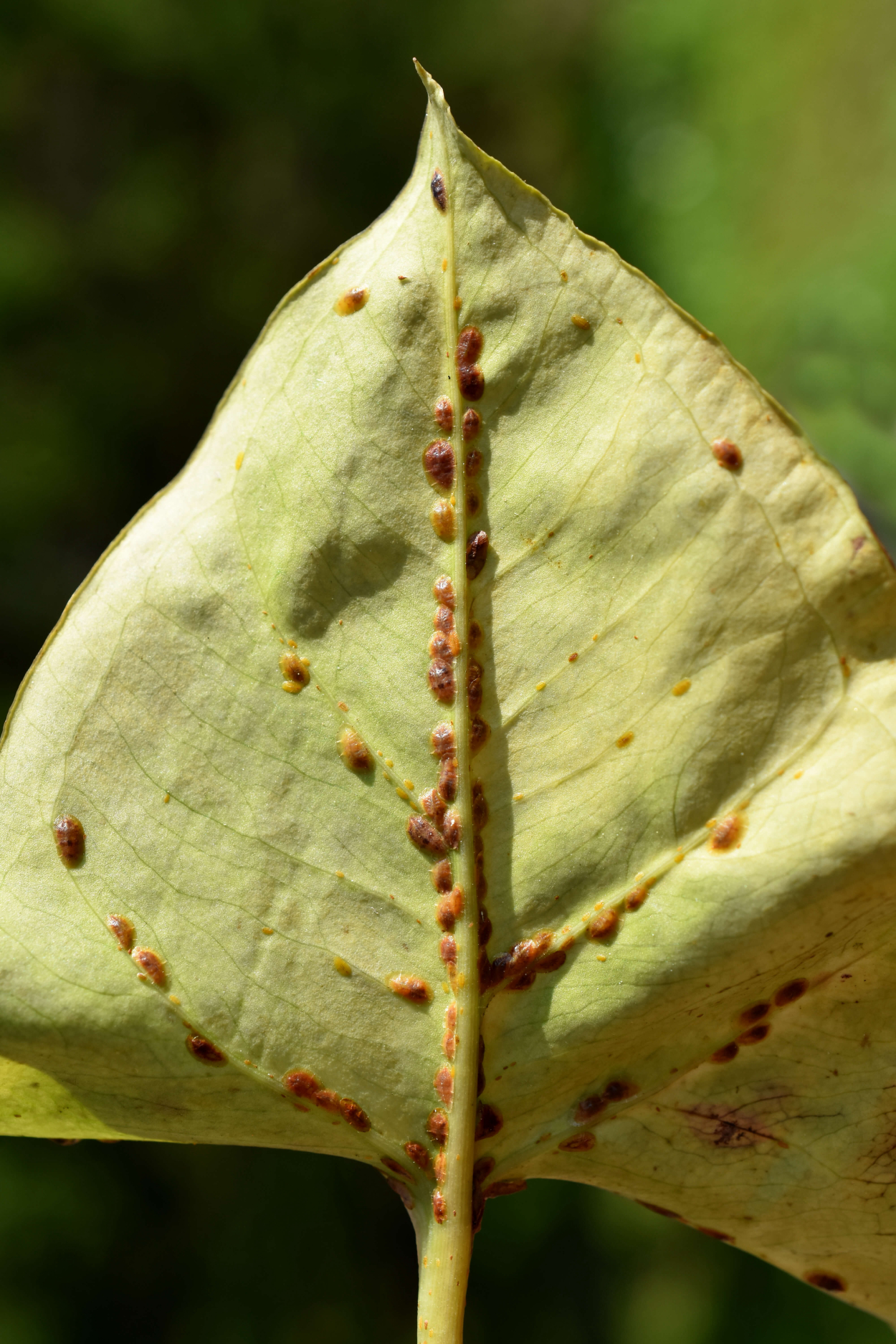 Disease: scale insects