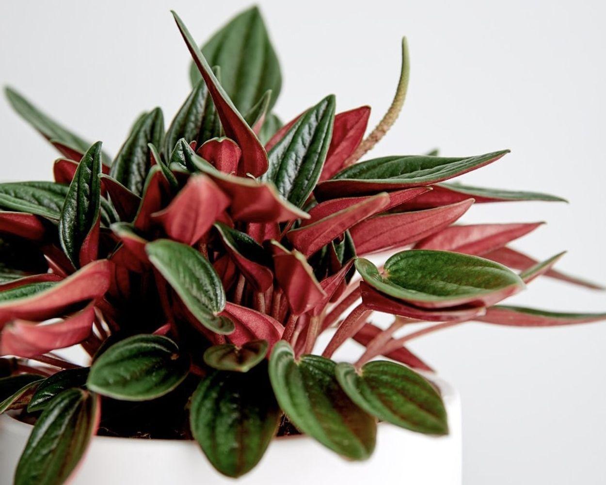 Aries - Peperomia Caperata Rosso