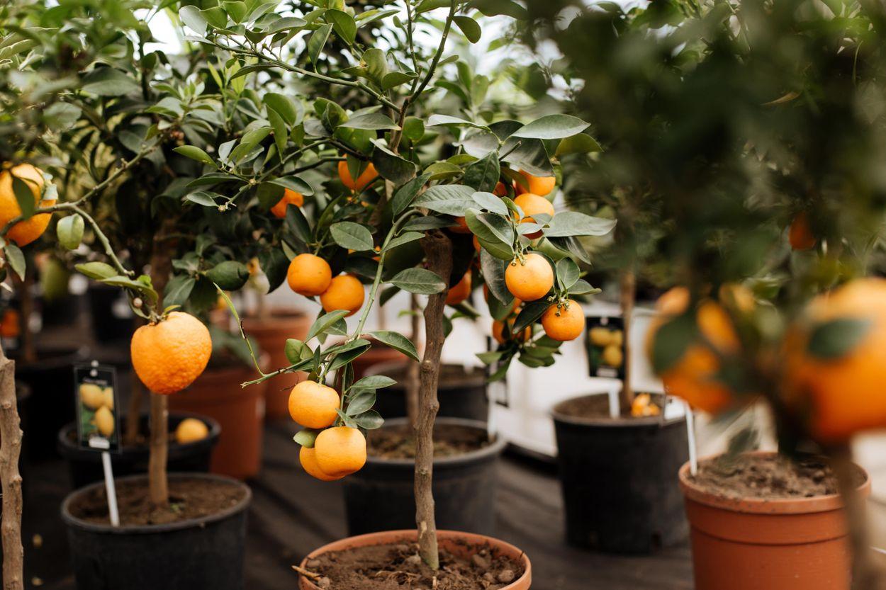 Orange, lemon and other citrus fruits