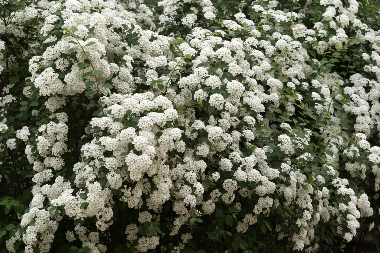 Spirea shrub with white flowers
