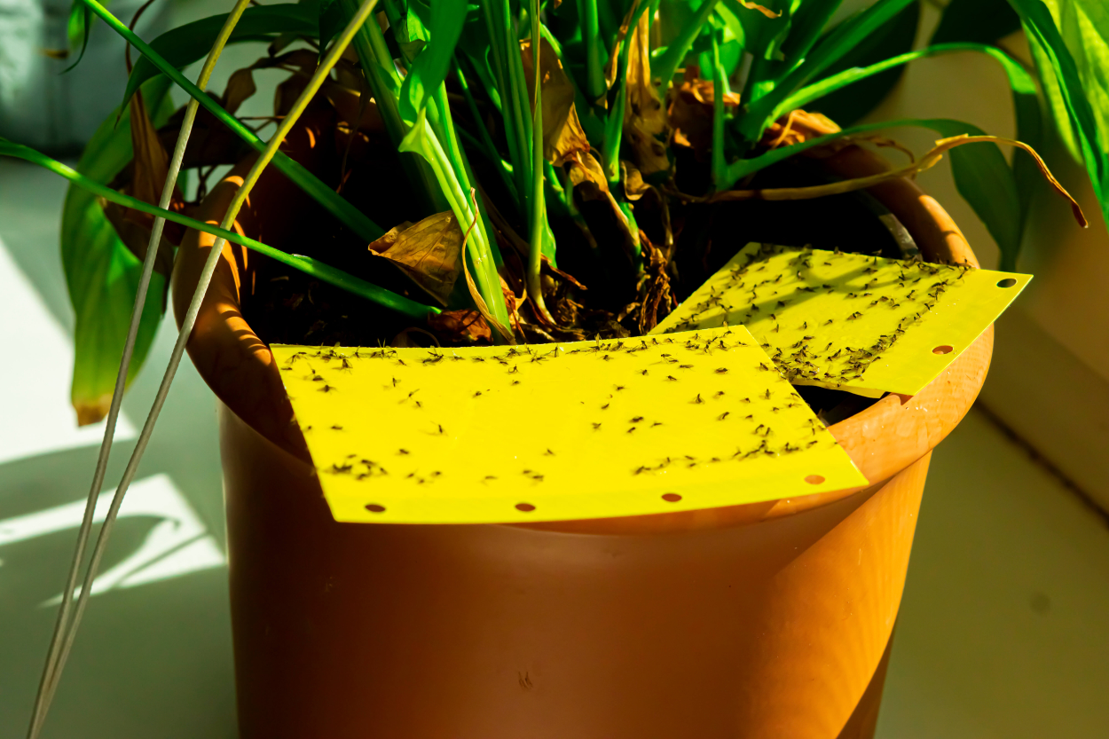 How to Get Rid of Fungus Gnats?