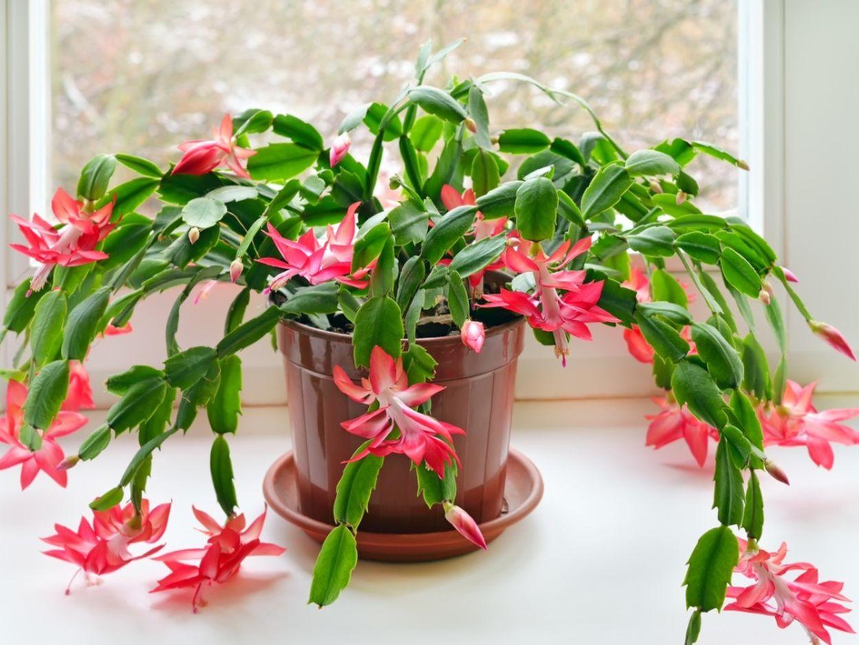 Schlumbergera cactus