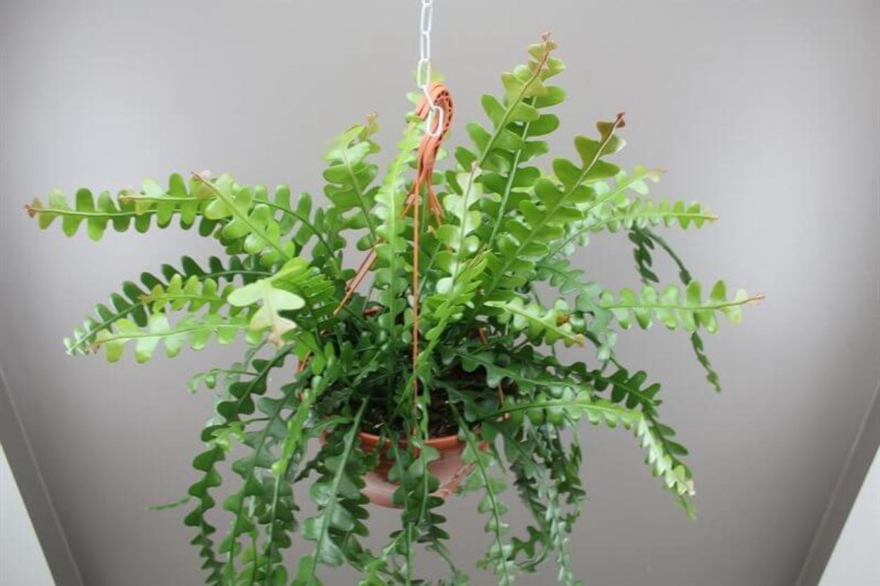 2. Epiphyllum Anguliger