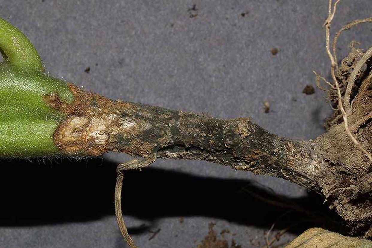 Alternaria black molds and stem cankers first small description variant