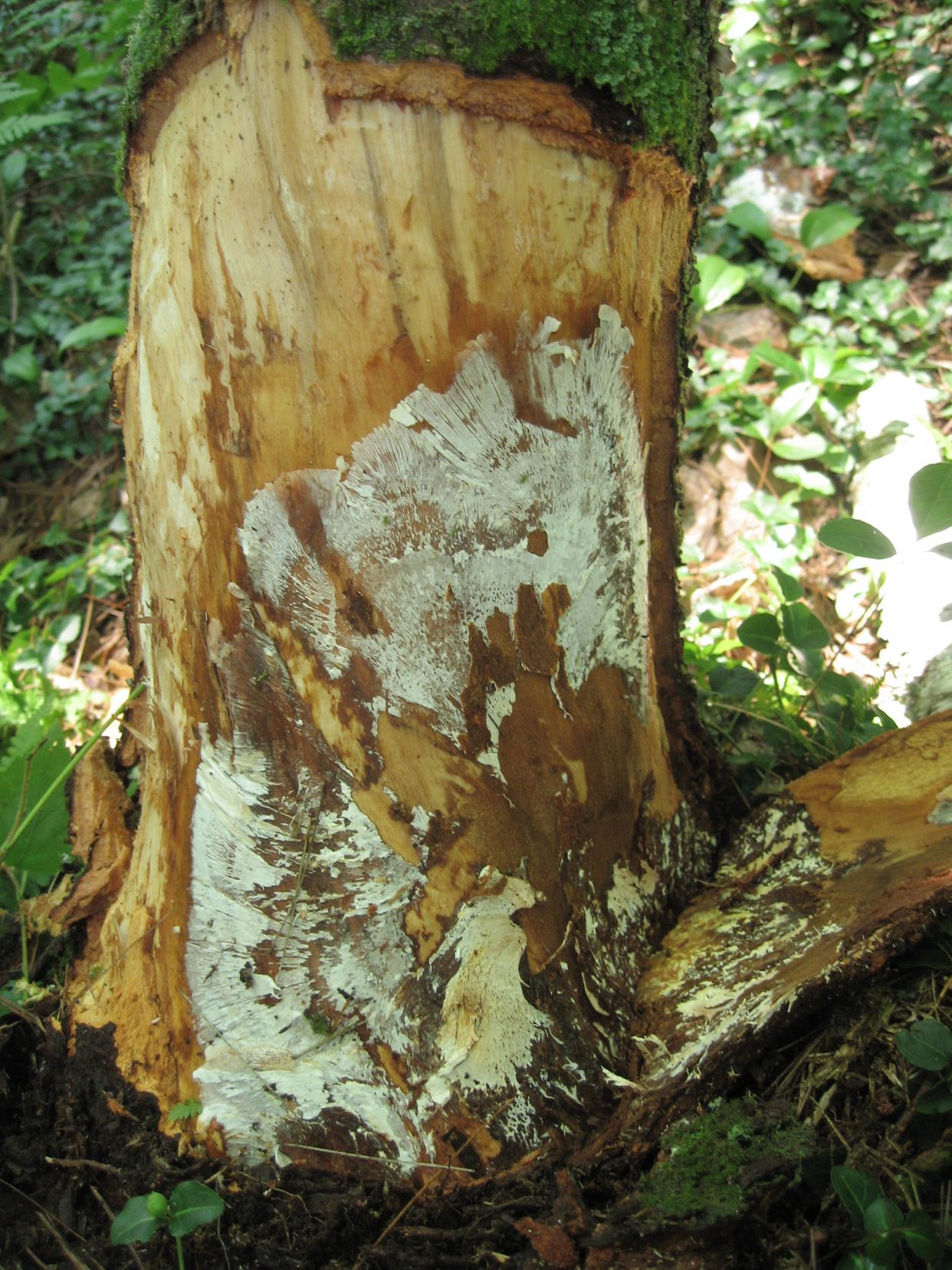 Armillaria root rot main description variant