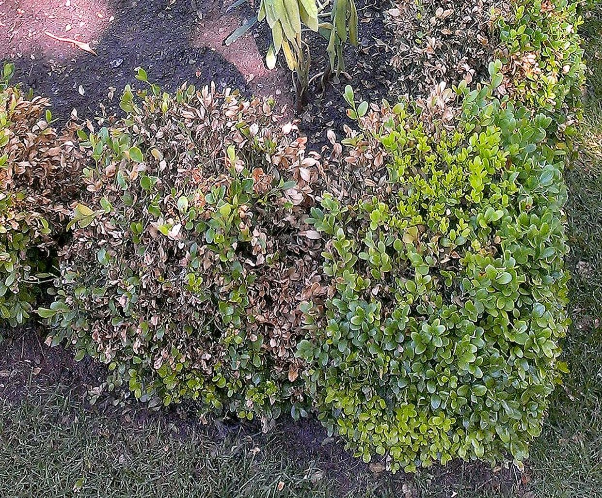 Boxwood blight first small description variant