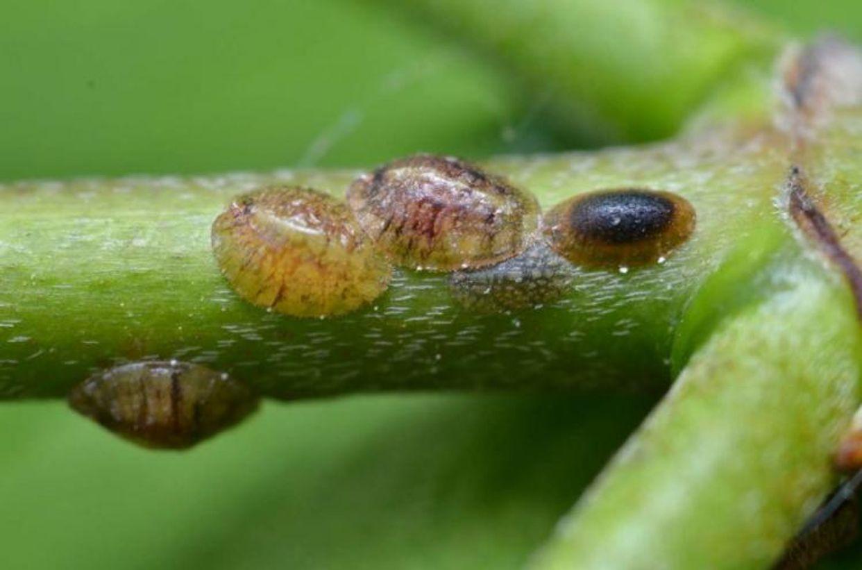 Coccoidea first small description variant