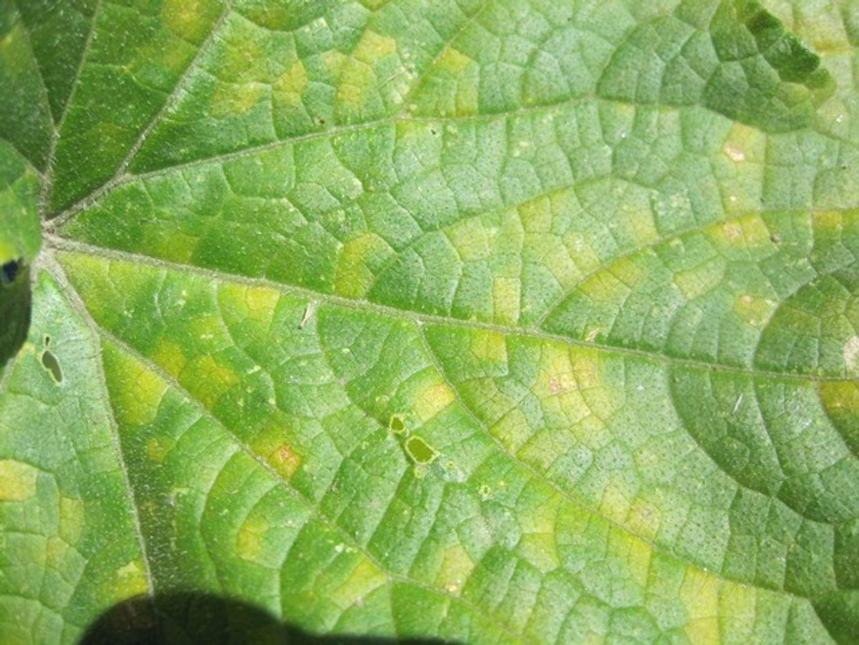Cucurbit downy mildew first small description variant