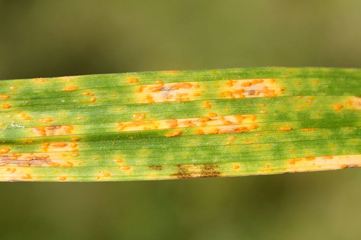 Daylily rust first small description variant