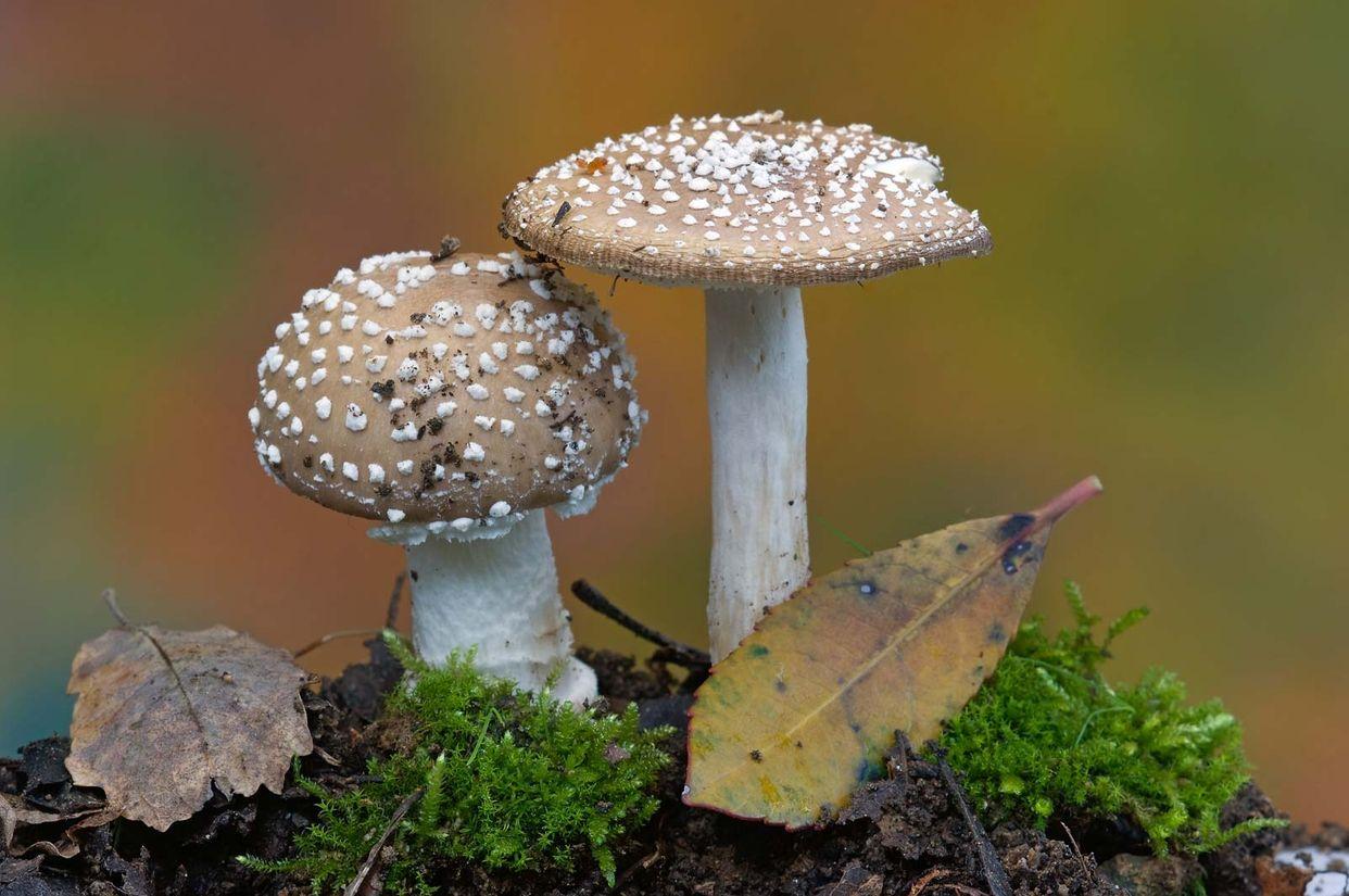 Fungi first small description variant