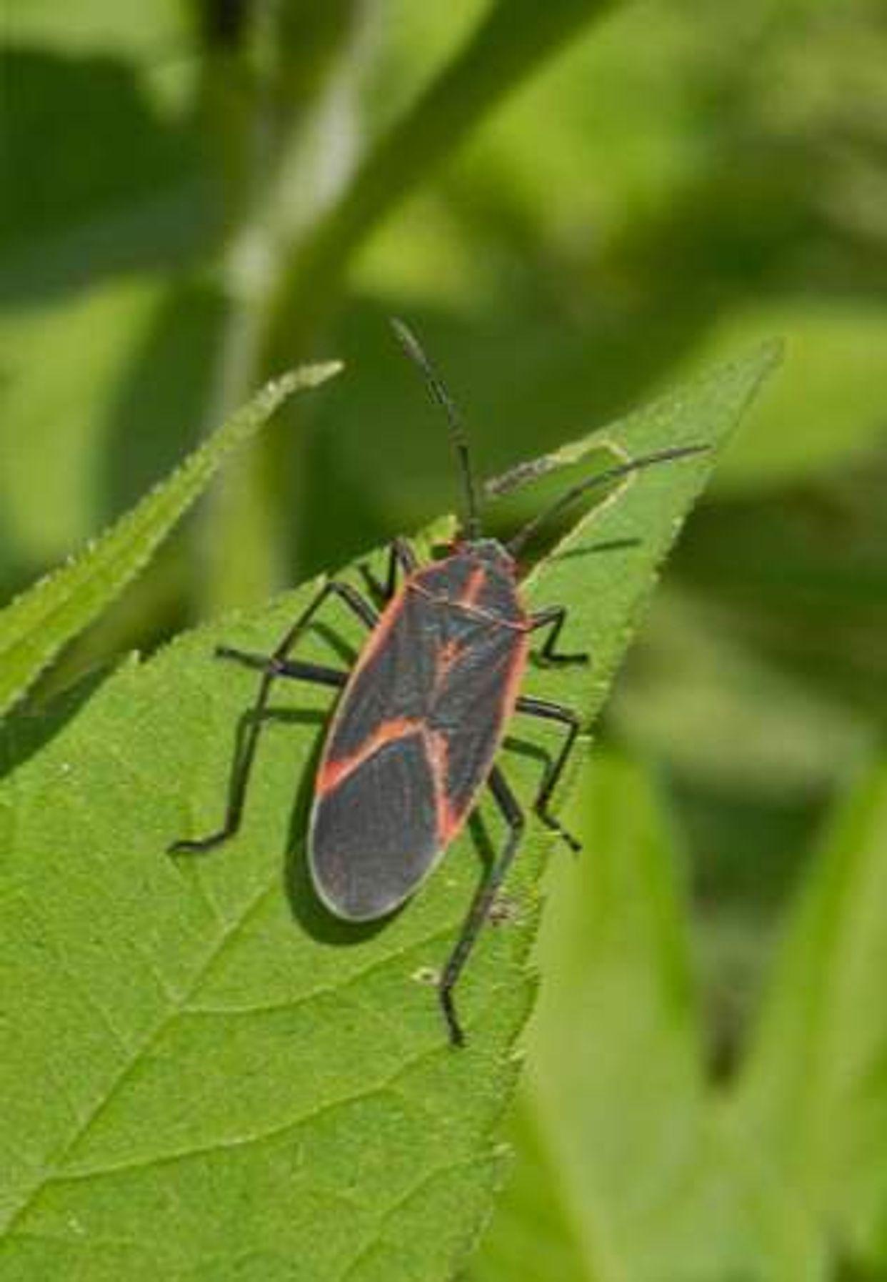 Hemiptera main description variant