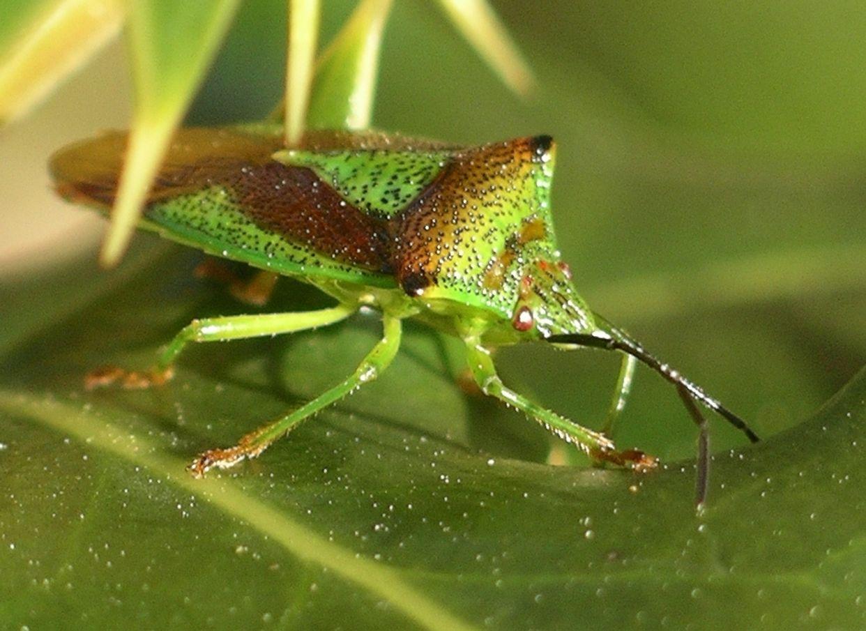Hemiptera first small description variant