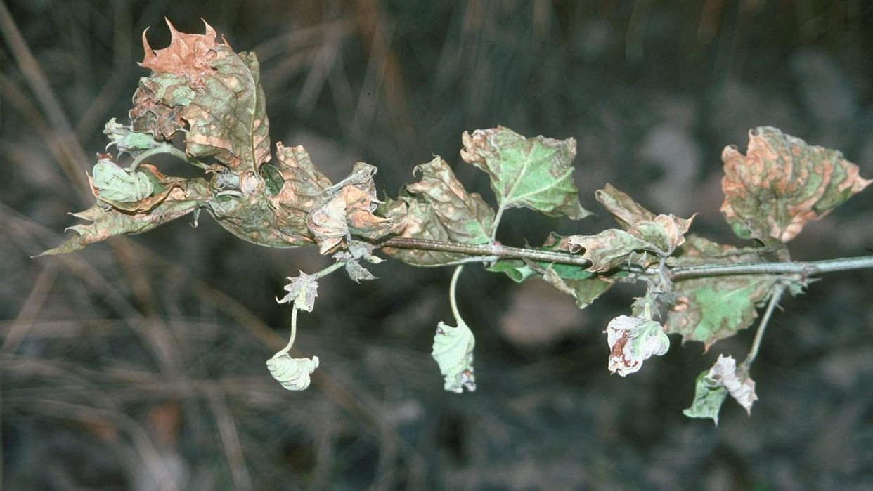 Herbicide damage first small description variant