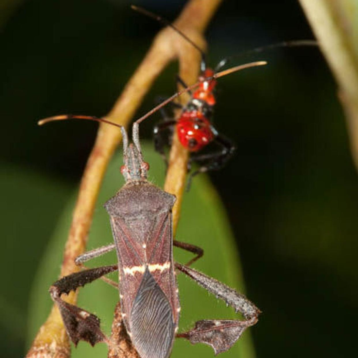 Impact of sap-sucking insects
