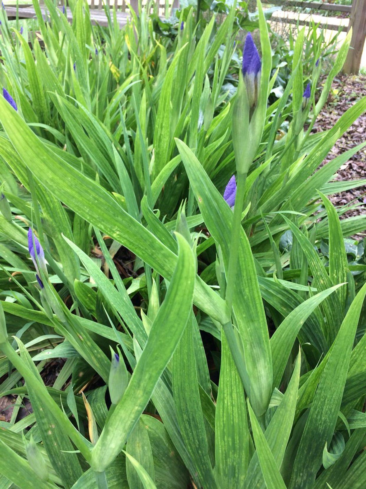 Iris yellow spot virus