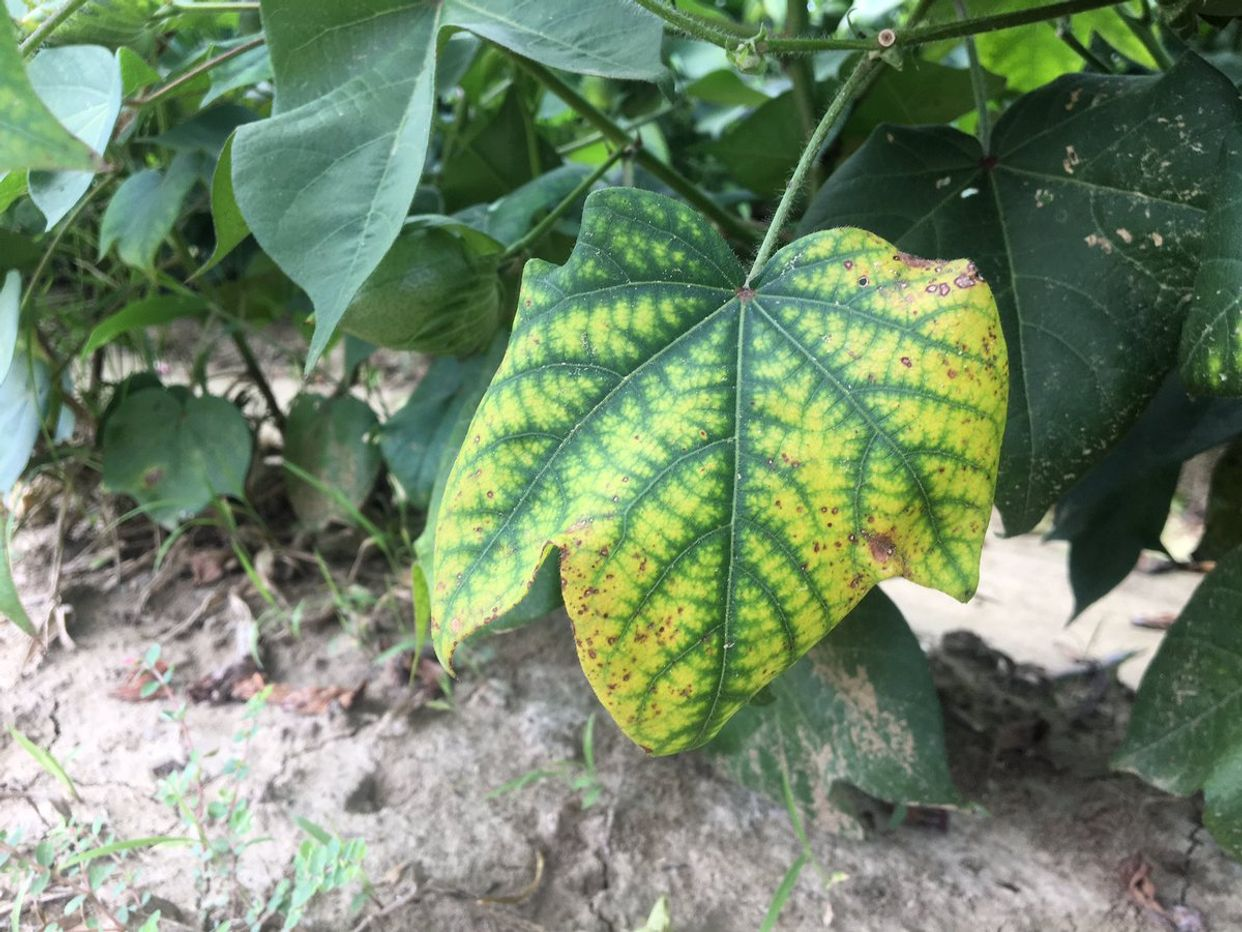 Potassium deficiency first small description variant