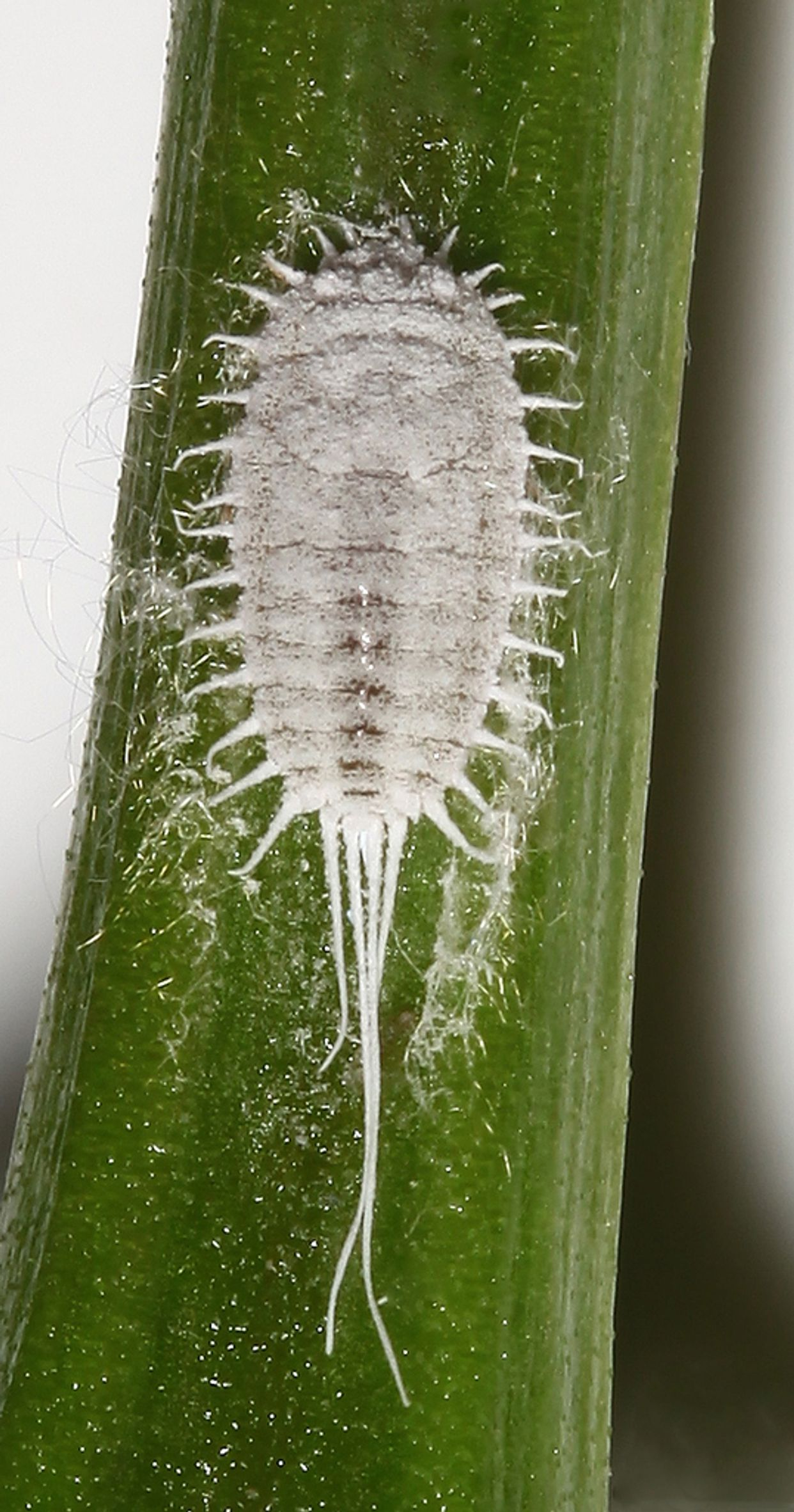 Pseudococcidae