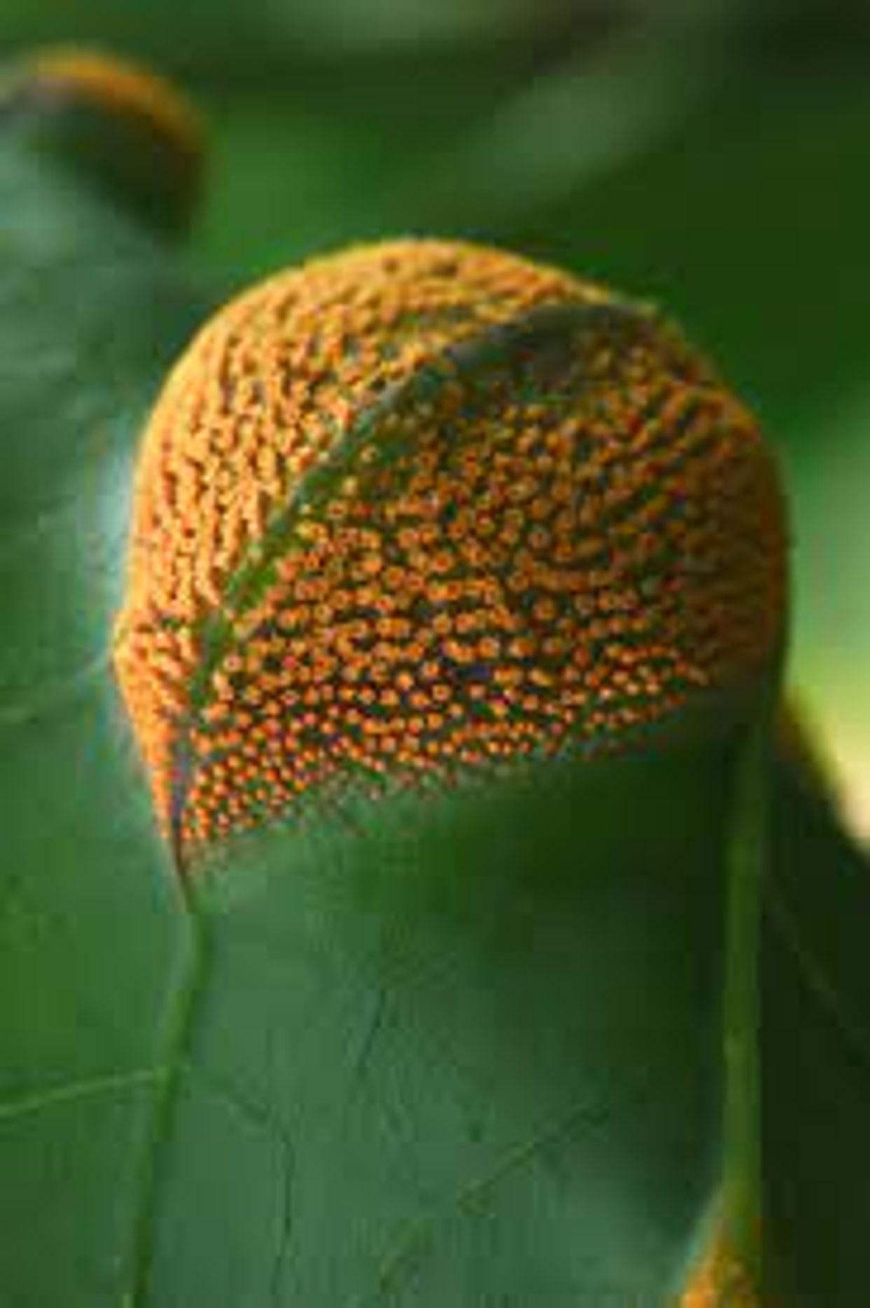Pucciniales main description variant