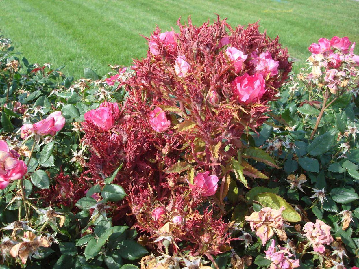 Rose rosette disease first small description variant