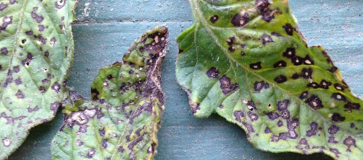 Septoria leaf spot first small description variant