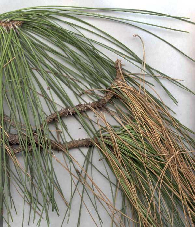 Sphaeropsis blight