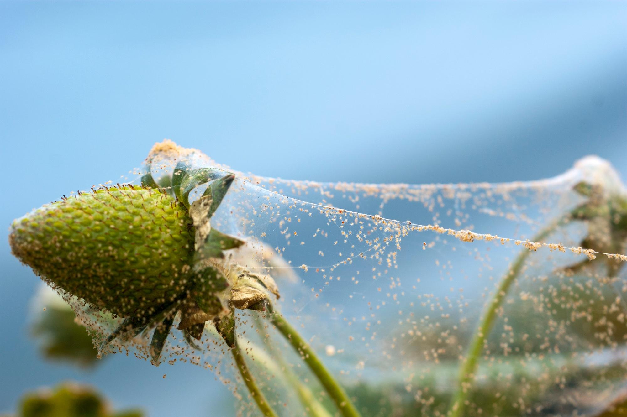 Spider Mites first small description variant
