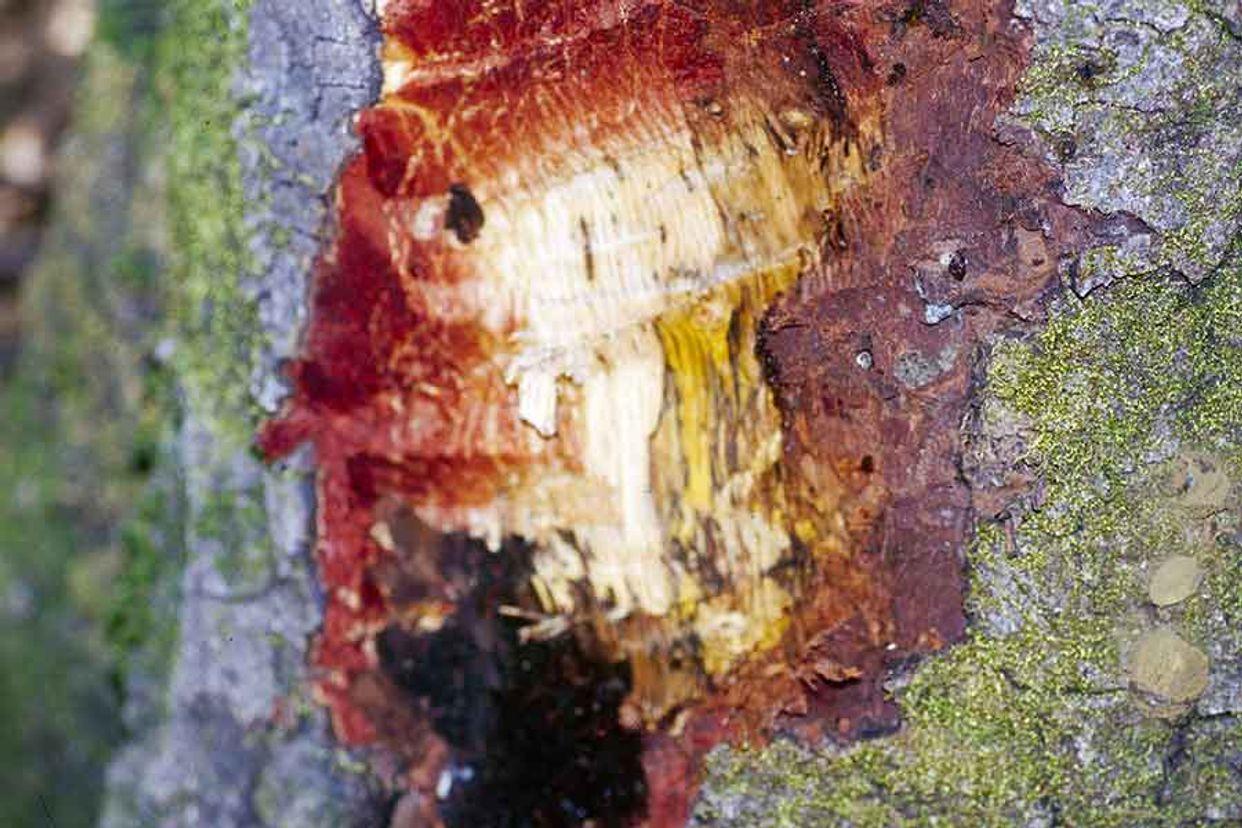 Sudden oak death first small description variant