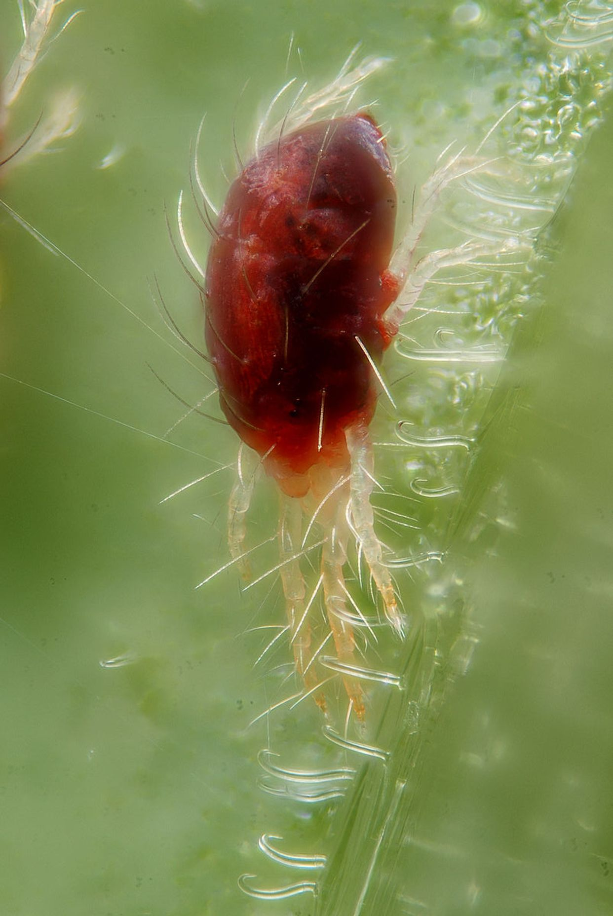 Tetranychidae