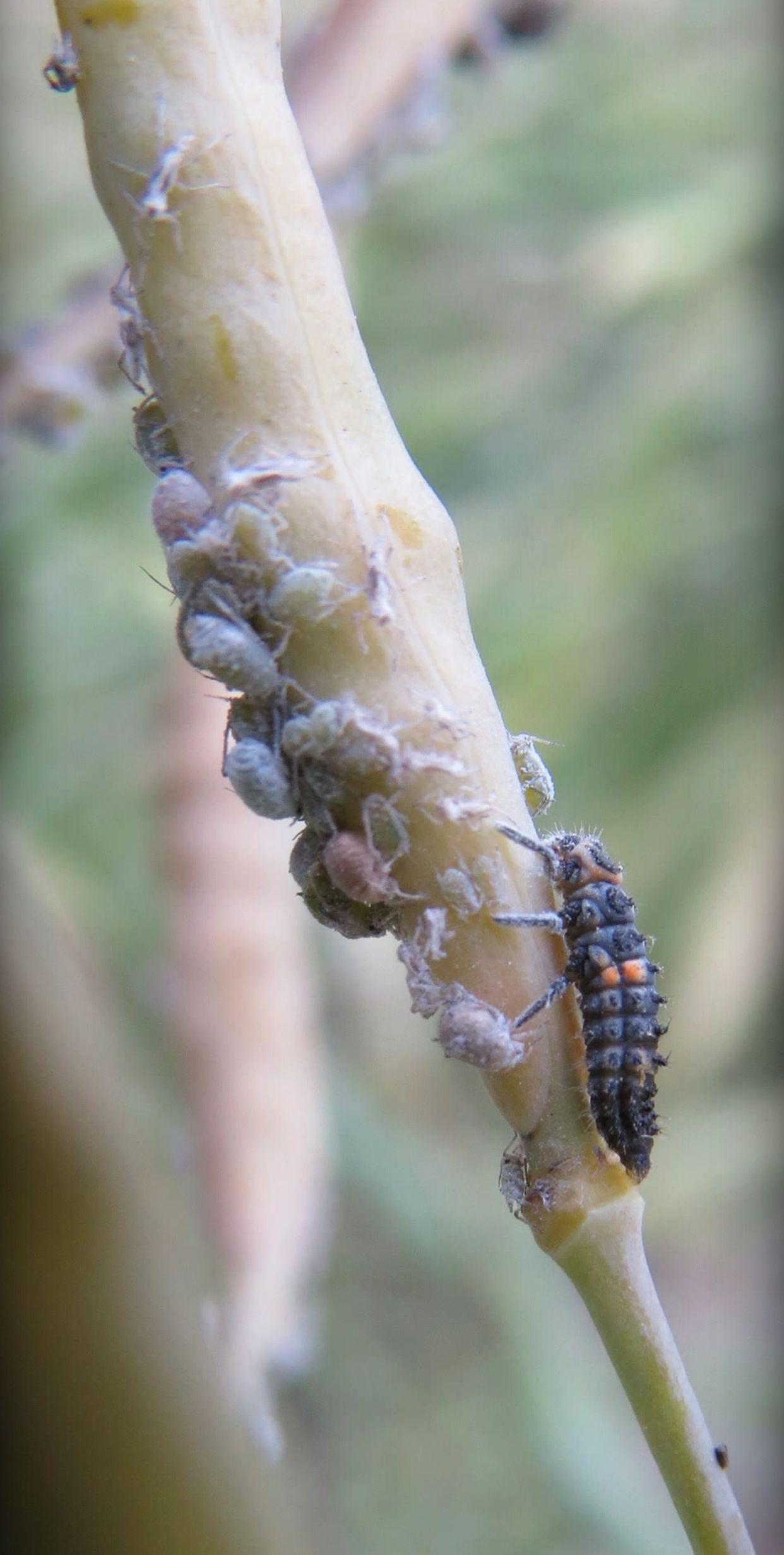 Thysanoptera main description variant